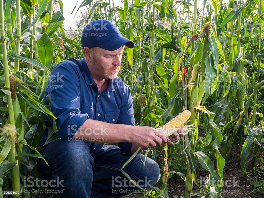 Farmer in a Cornfield Inspecting Corn stock photo