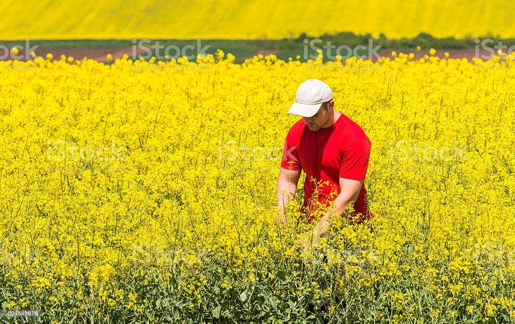 farmer in Canola Field stock photo