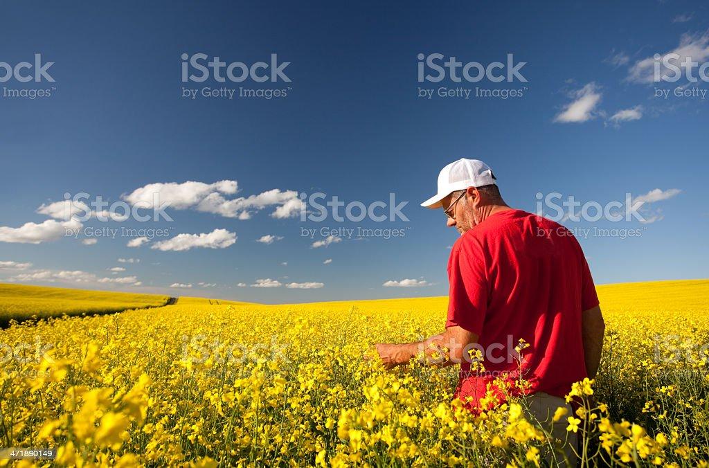 Farmer in Canola royalty-free stock photo