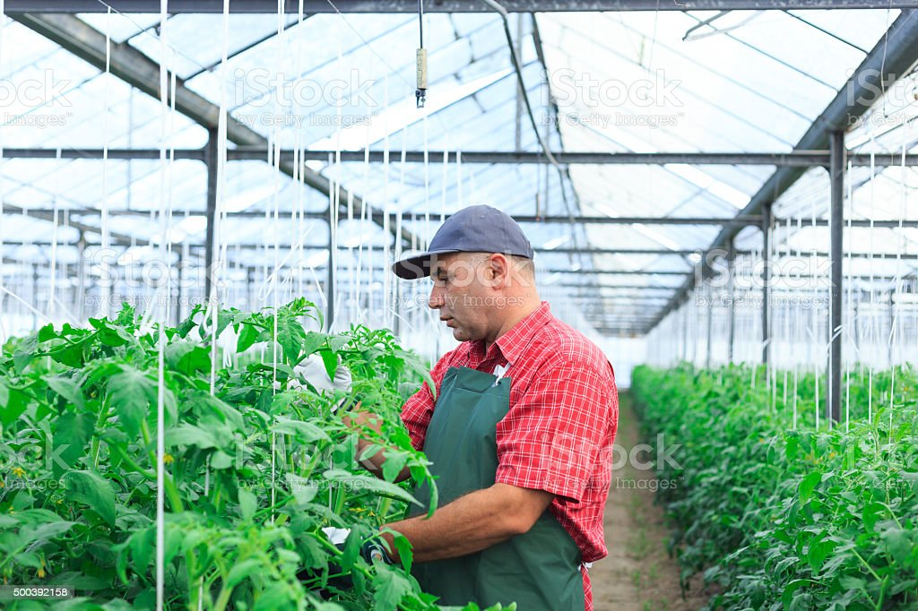 Farmer In Greenhouse Checking status of Tomato Plants stock photo