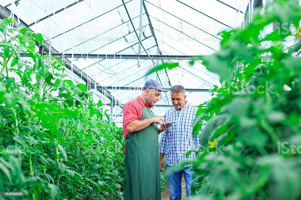 Farmer In Greenhouse Checking Tomato Plants Using Digital Tablet stock photo