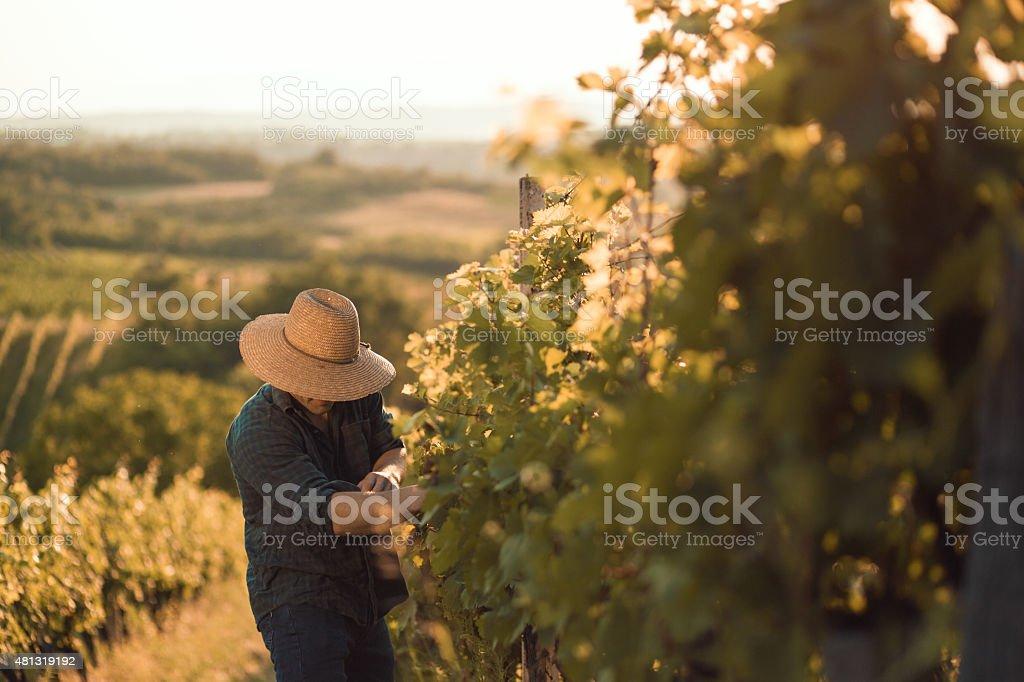 Farmer in his vineyard stock photo