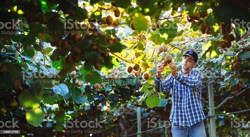 Farmer in Kiwi plantation checking fruit stock photo