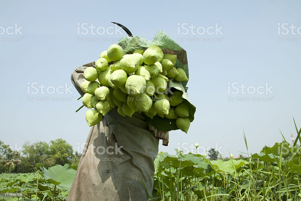 Farmer in lotus farm at Thailand royalty-free stock photo