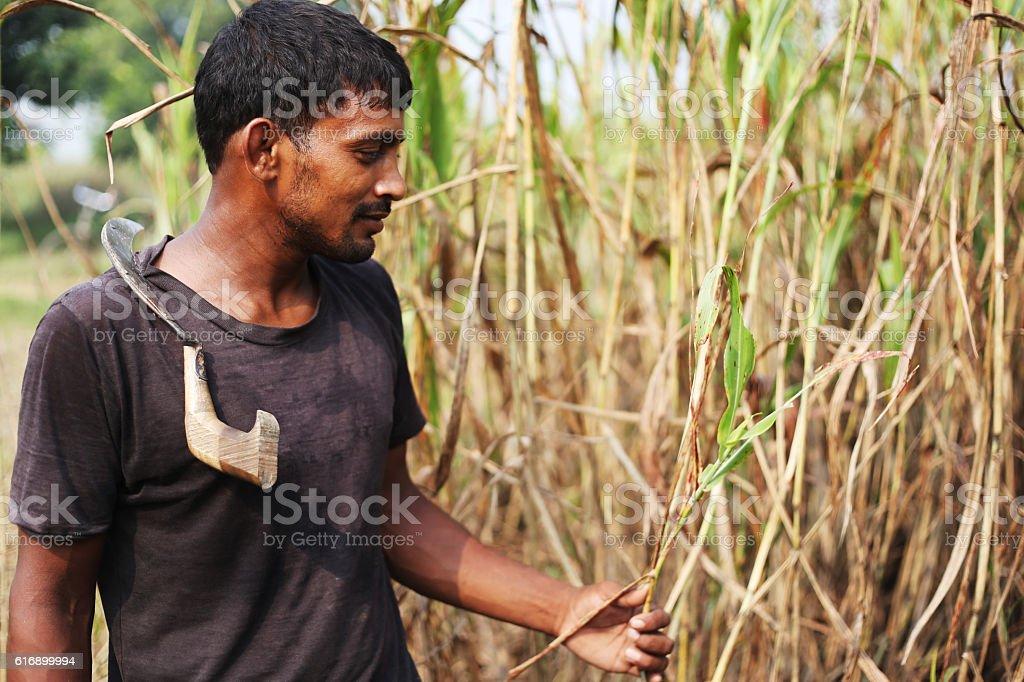 Farmer In Sorghum Field stock photo