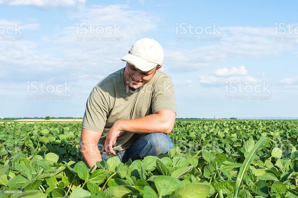 farmer in soybean fields stock photo