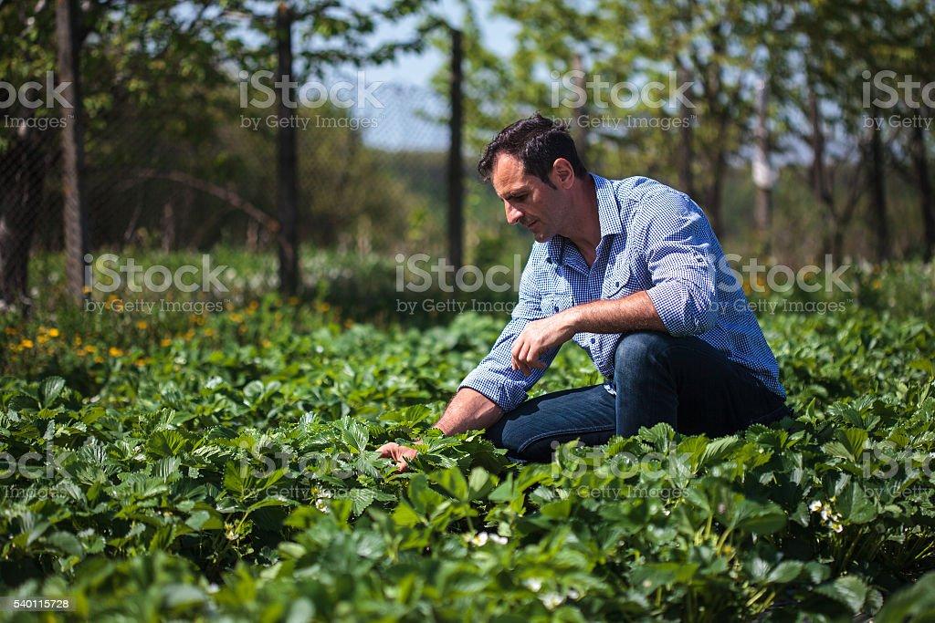 Farmer in strawberry field stock photo