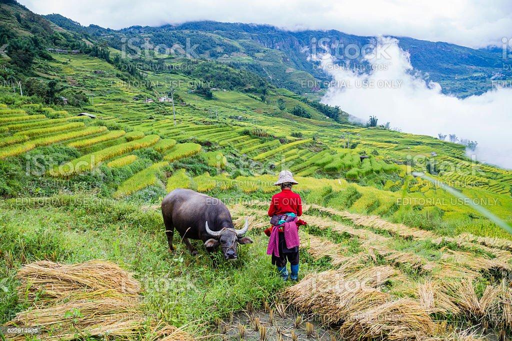 farmer in terraces rice field stock photo