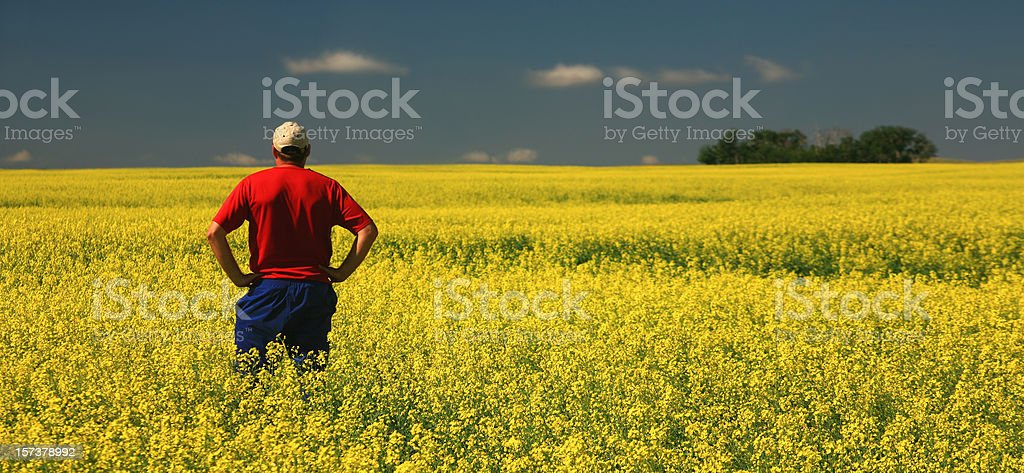 Farmer in the Field Inspecting Rapeseed Field stock photo