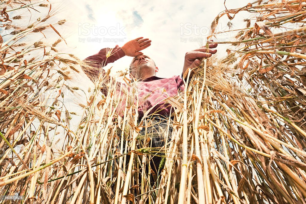 Farmer in the wheat field royalty-free stock photo