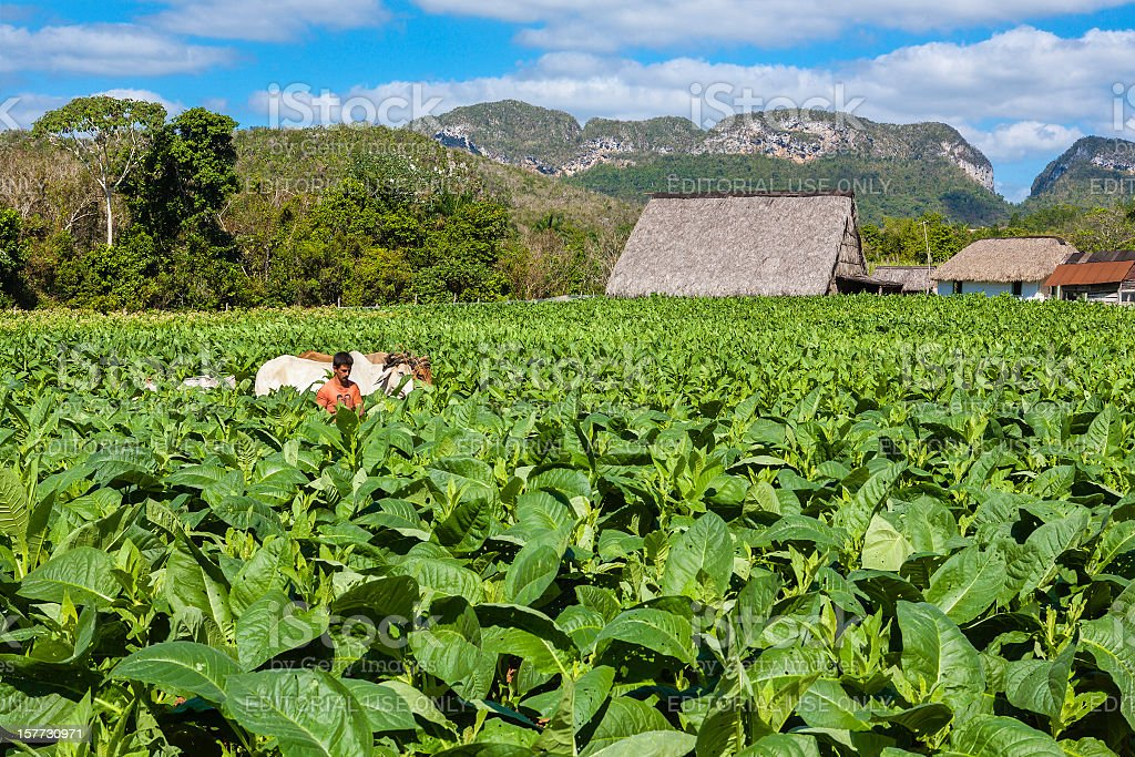 Farmer in Tobacco Plantation, Cuba stock photo