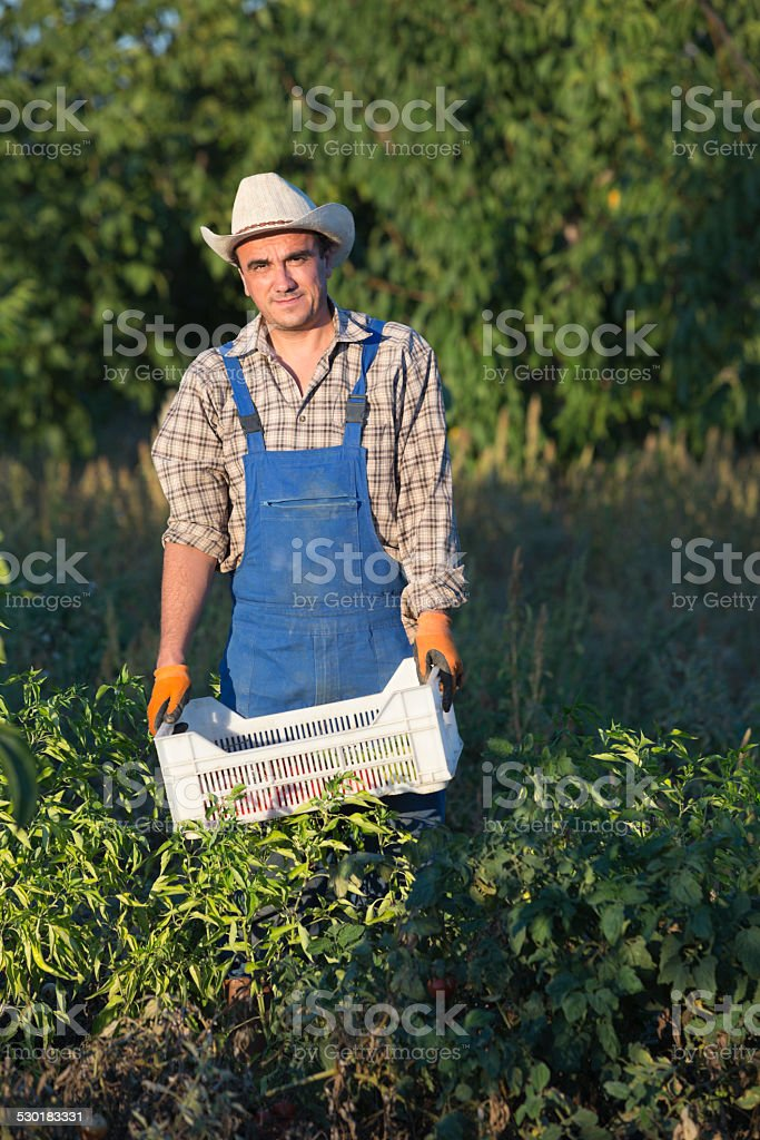Farmer In Vegetable Garden stock photo