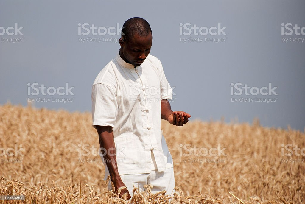 Farmer in white checking if the wheat is ready to harvest royalty-free stock photo