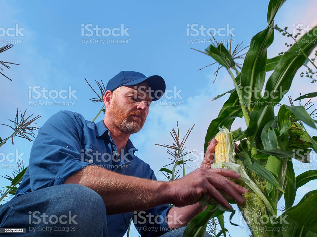 Farmer Inspecting Corn stock photo