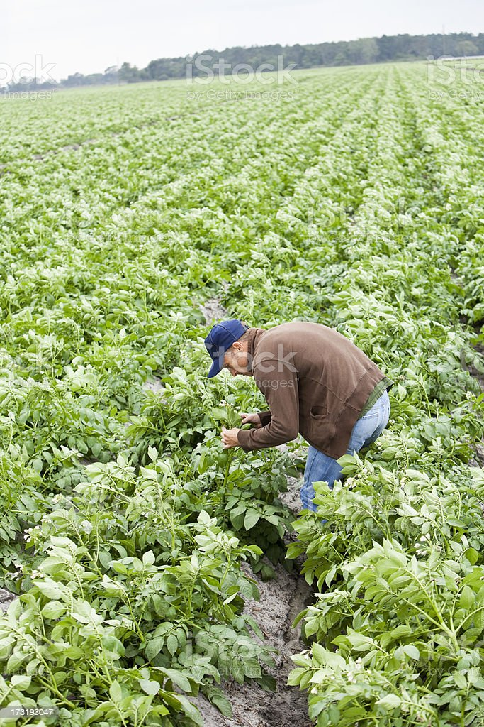 Farmer inspecting crops in field stock photo