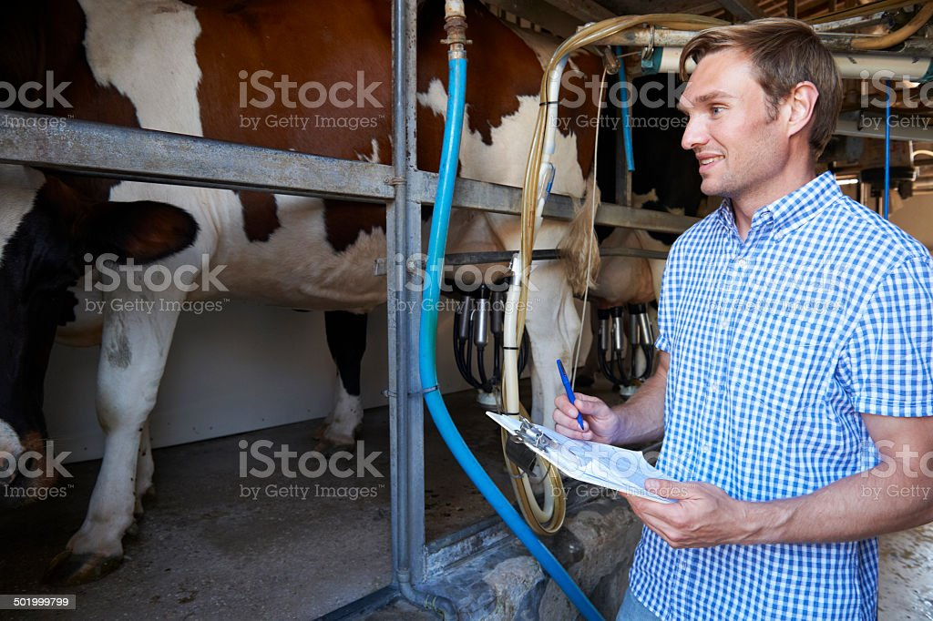 Farmer Inspecting Dairy Cattle In Milking Parlour stock photo