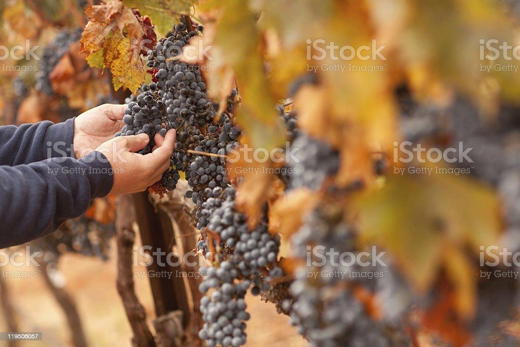 Farmer Inspecting His Ripe Wine Grapes stock photo