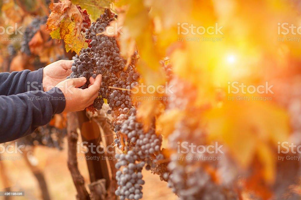 Farmer Inspecting His Wine Grapes In Vineyard stock photo