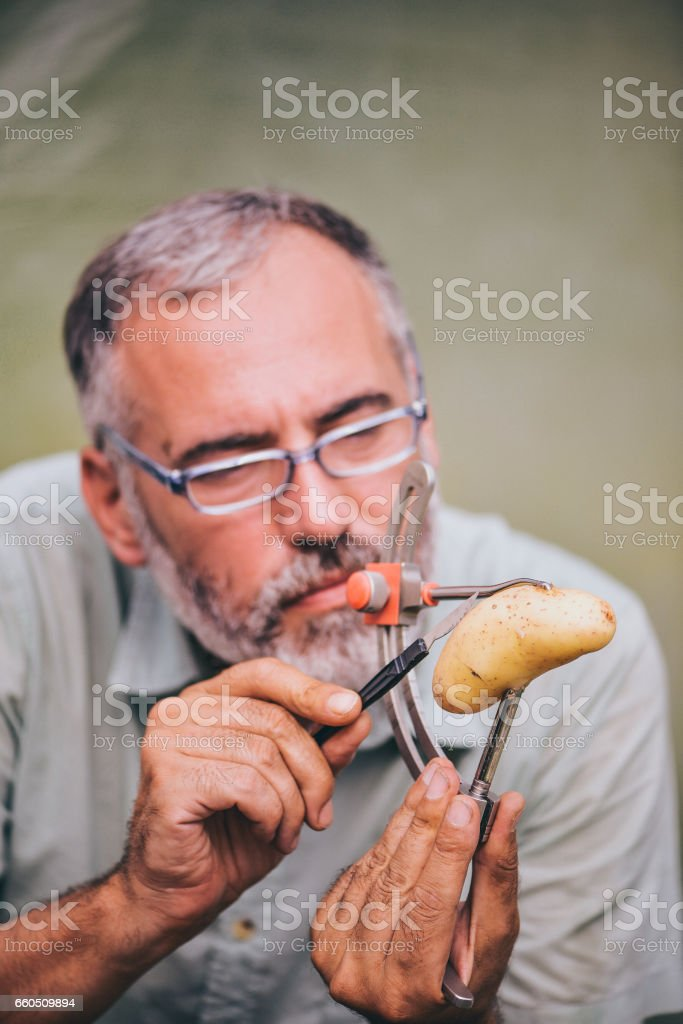 Farmer Inspecting The Quality Of Harvesting Potatos stock photo