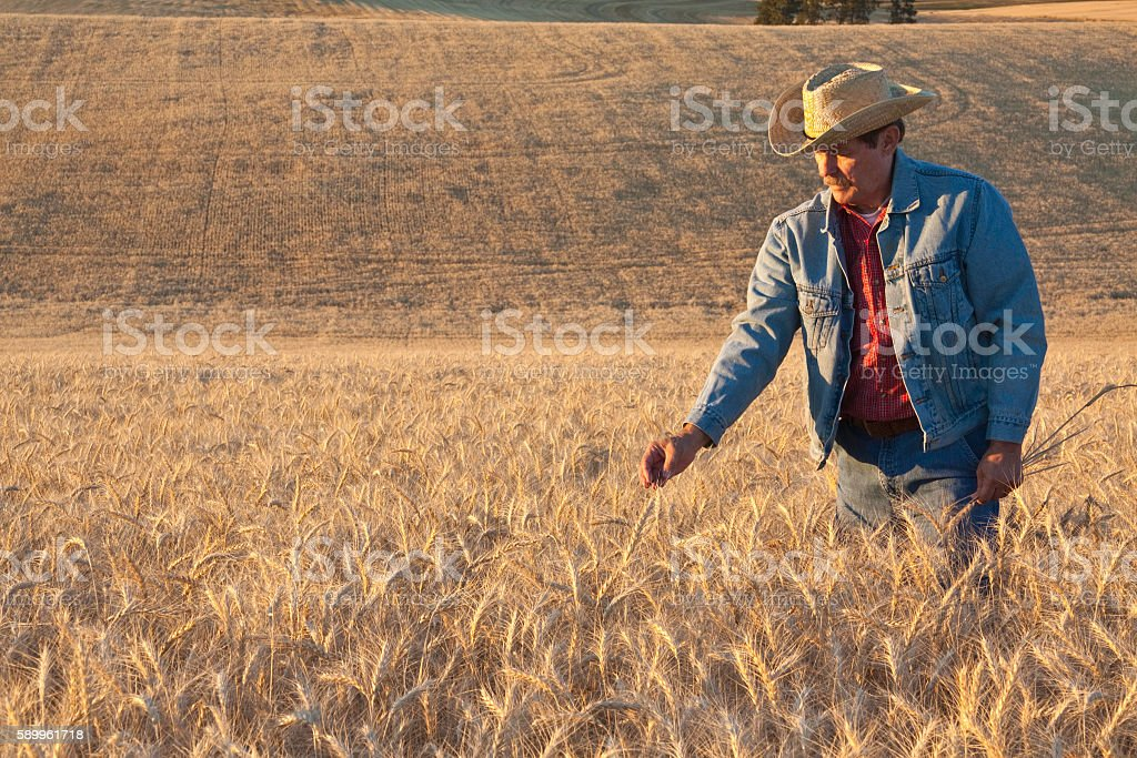Farmer inspecting wheat crop and fields(P) stock photo