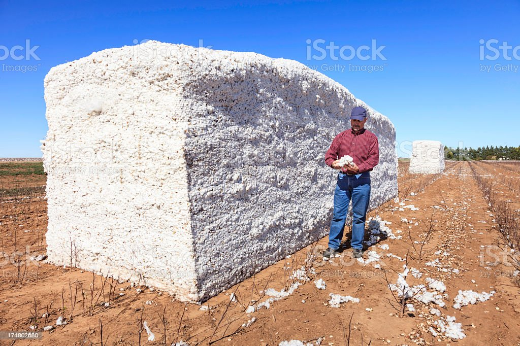 farmer inspects cotton in harvested module stock photo