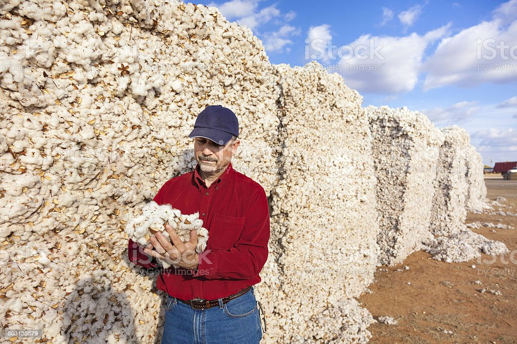 farmer inspects cotton quality in harvested module stock photo