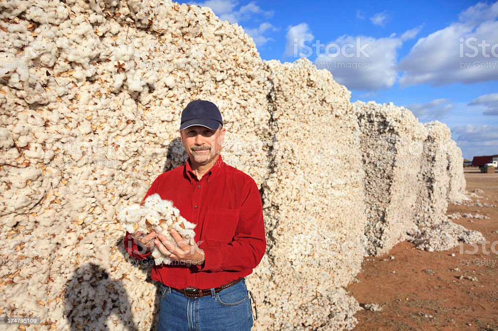 farmer inspects quality in the cotton modules stock photo