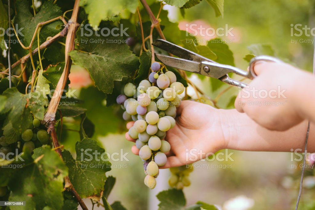 A farmer is harvesting grapes in a vineyard stock photo