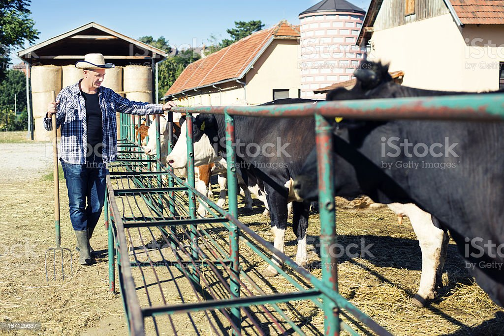 Farmer is working on a farm with cows. royalty-free stock photo