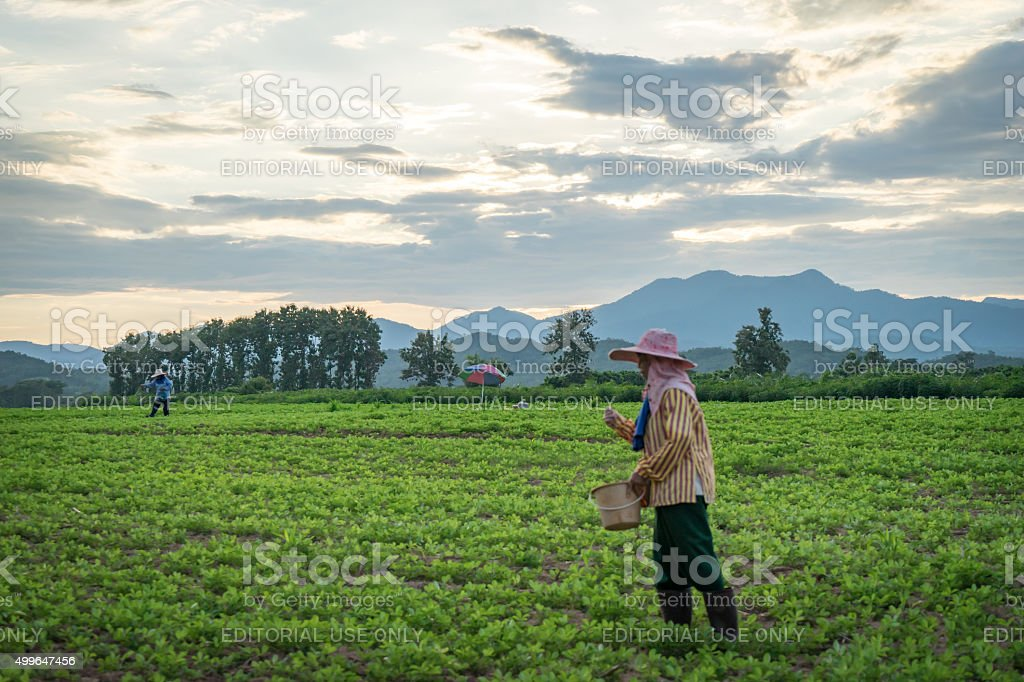 Farmer is working on paddy field stock photo