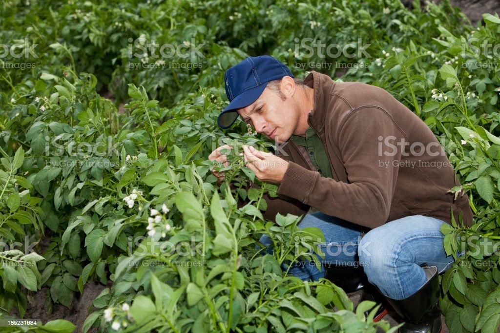 Farmer kneeling in field checking crop royalty-free stock photo