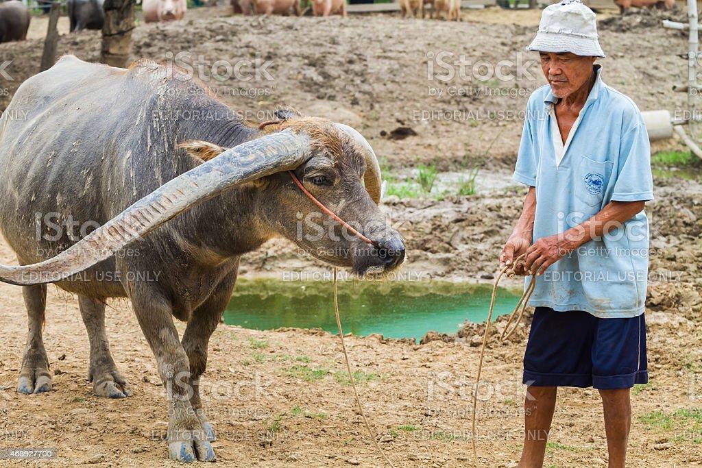 farmer lead a buffalo stock photo