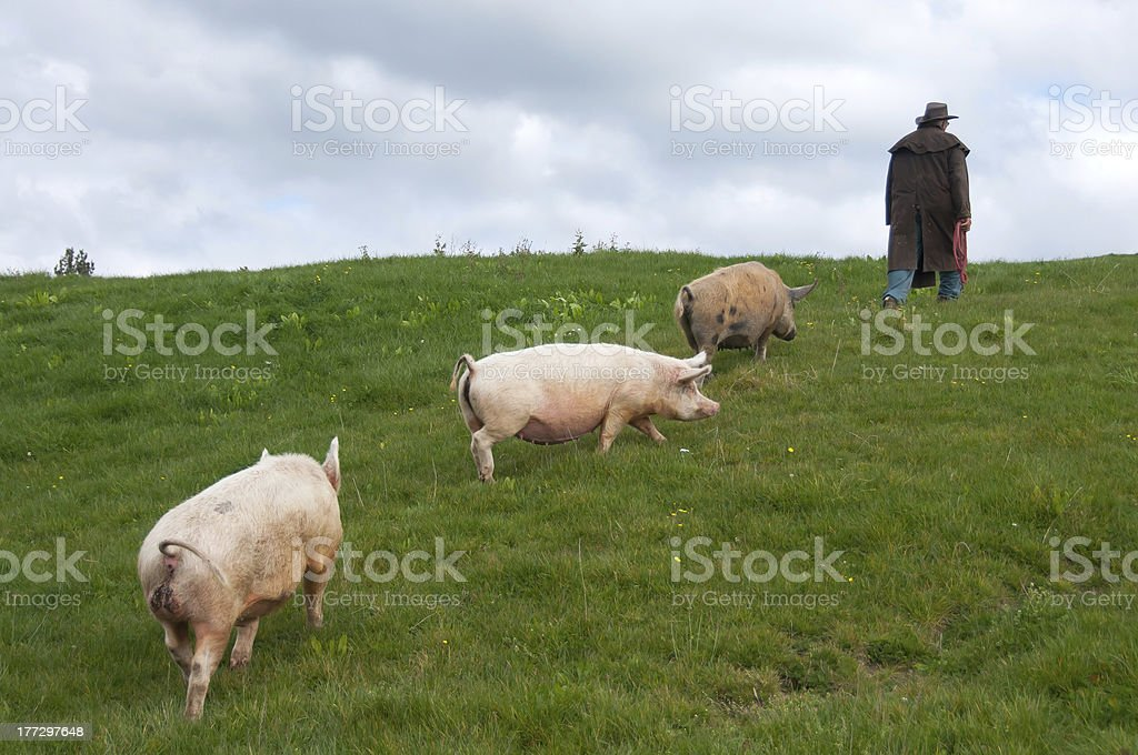 Farmer que los cerdos a través de campo foto de stock libre de derechos