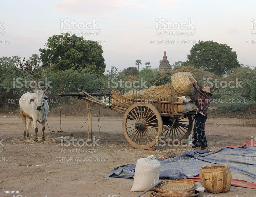 farmer loading her bullock cart royalty-free stock photo