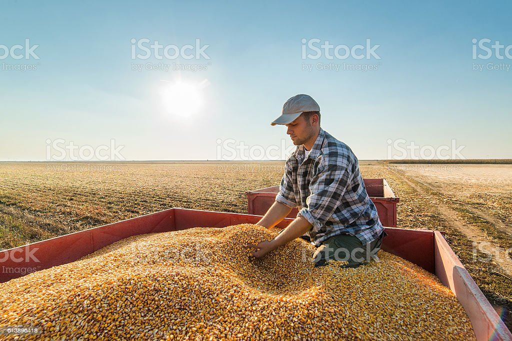 Farmer looking at corn grains in tractor trailer stock photo