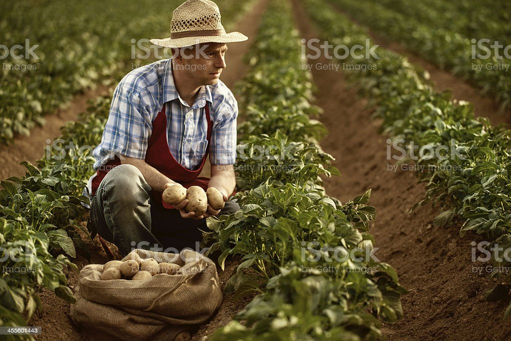 farmer looking his potato harvest at field row stock photo