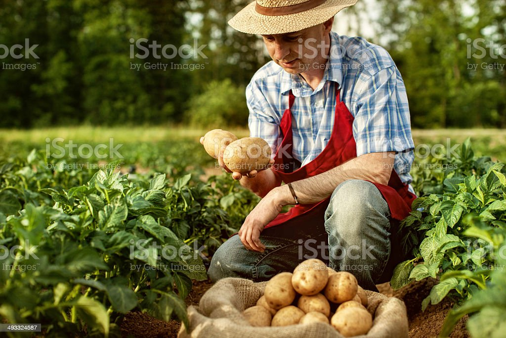 farmer looking his potato harvest at field row stock photo