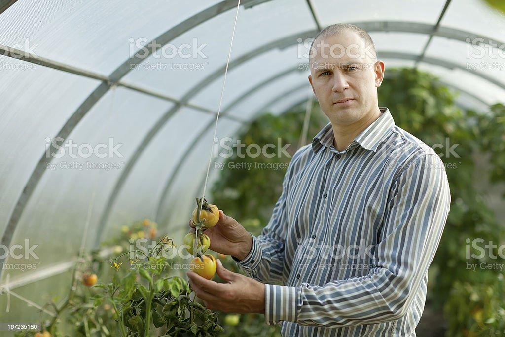 farmer looks tomatos plant royalty-free stock photo
