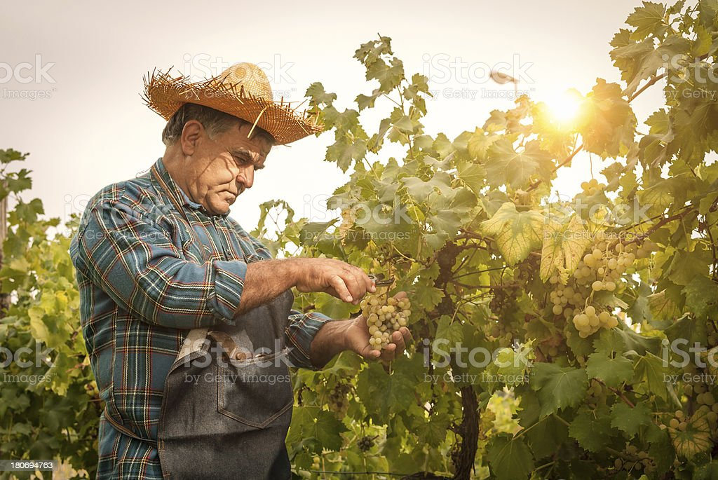 Farmer man cutting a grape bunch with scissors royalty-free stock photo