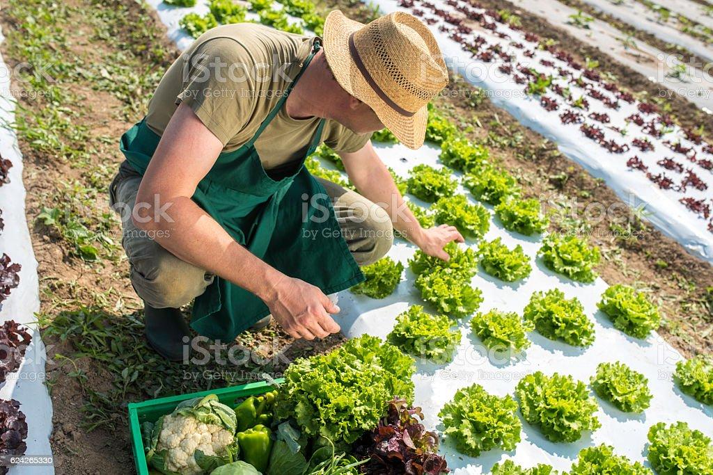 Farmer on a lettuce field stock photo