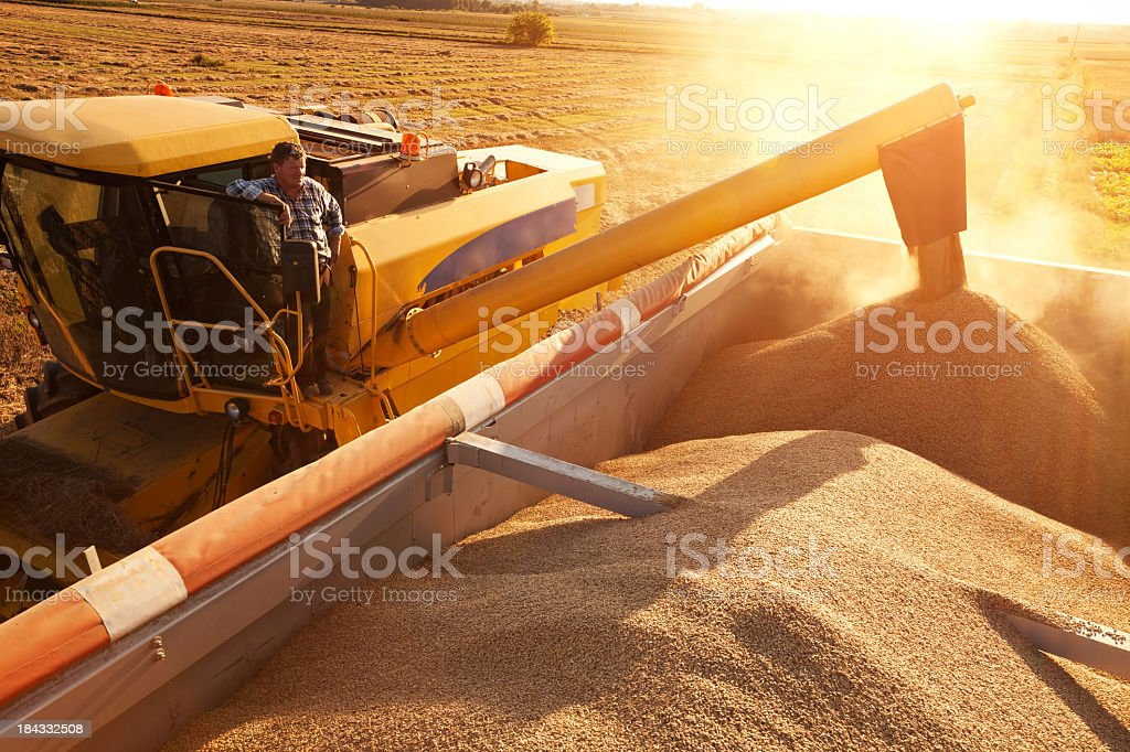 Farmer on combine harvester pours grain into a trailer. stock photo