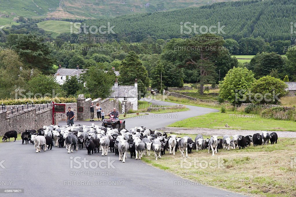 Farmer on quad bike hearding sheep in the Lake District royalty-free stock photo