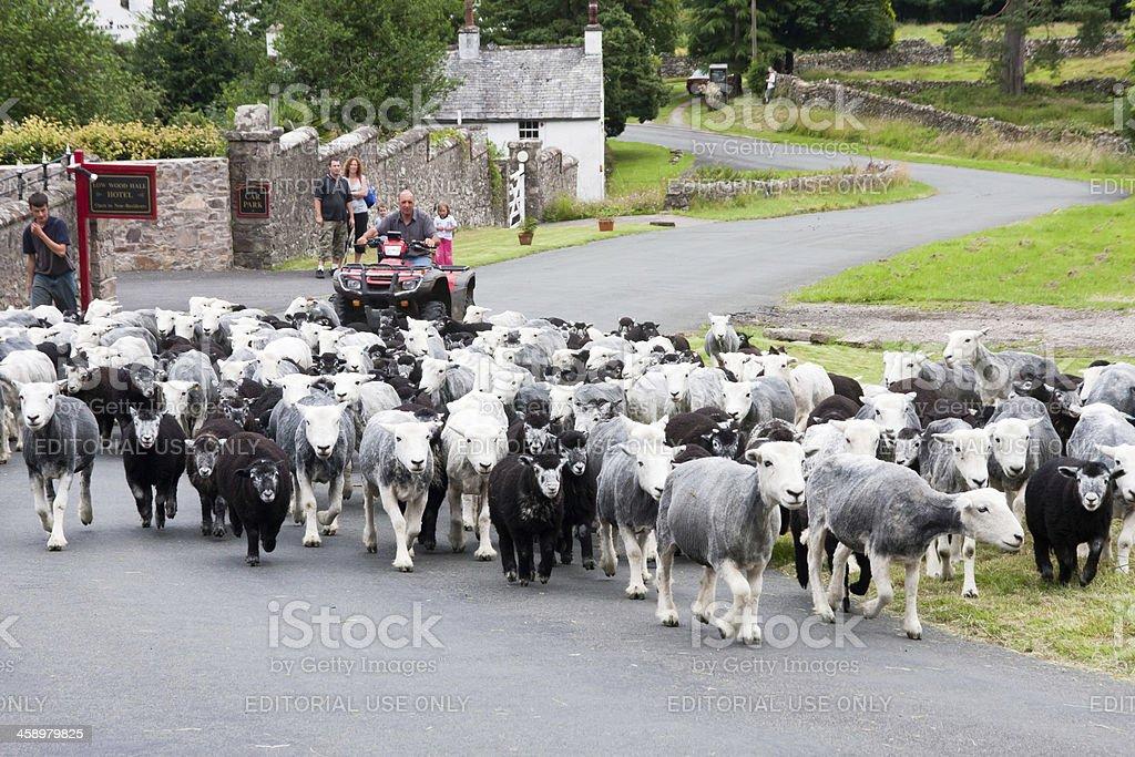 Farmer on quad bike hearding sheep in the Lake District stock photo