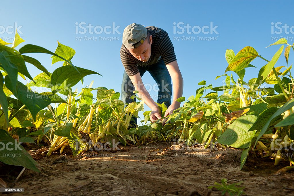 Farmer on the field collects ripe beans royalty-free stock photo