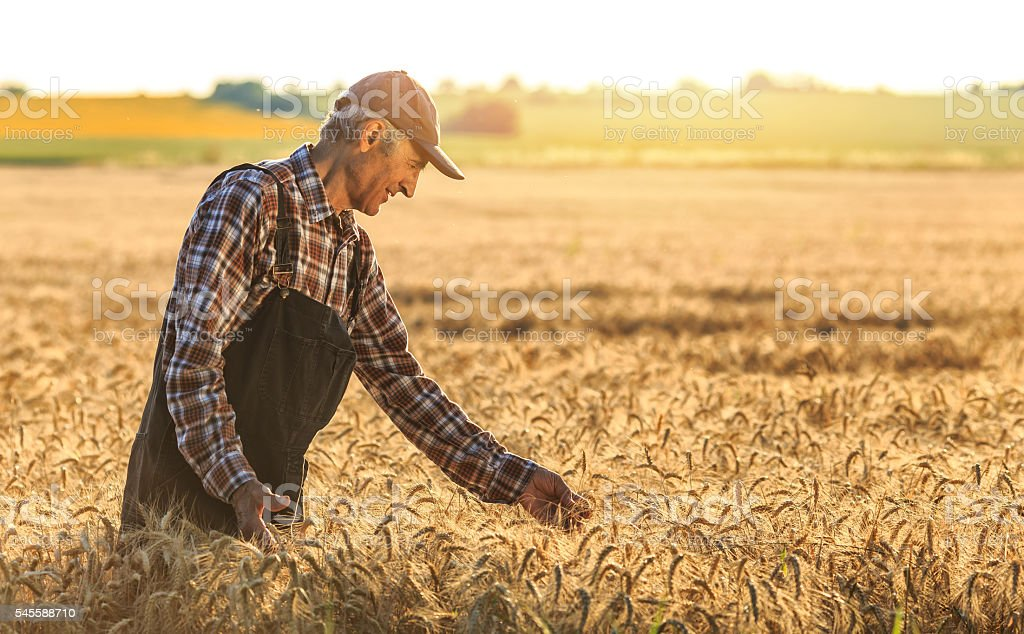Farmer overlooking at new crops stock photo