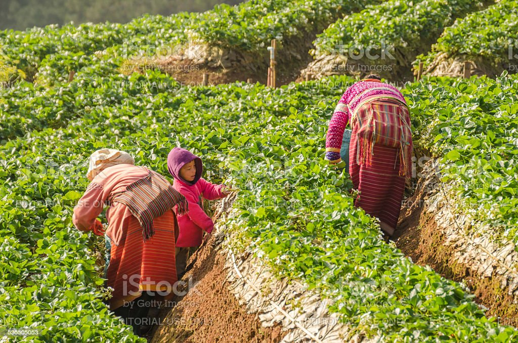 Farmer pick up strawberry at Strawberry farm in the moring stock photo