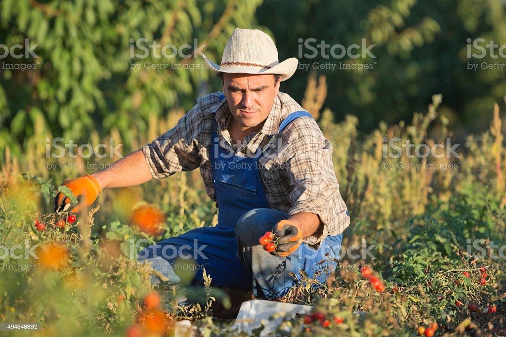 Farmer Picking Cherry Tomato stock photo