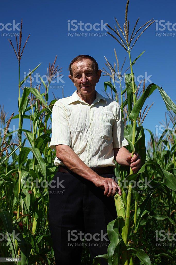 Farmer Picking Corn Crop royalty-free stock photo