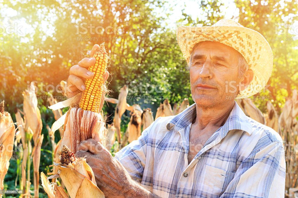 Farmer Picking Corn stock photo
