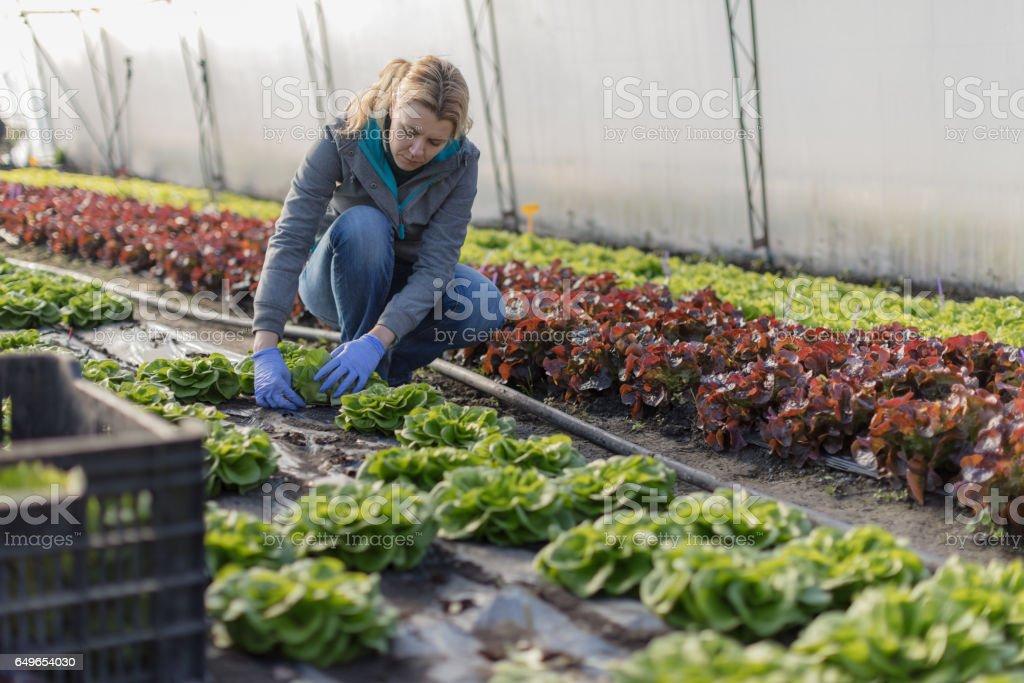 Farmer picking lettuce stock photo